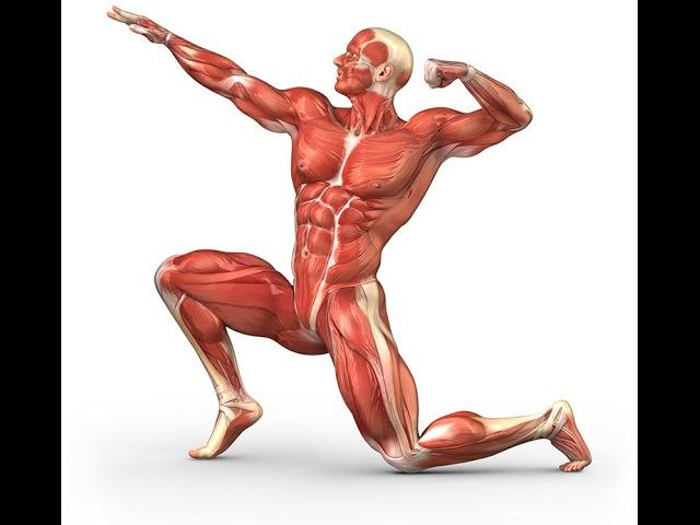Мышцы тела человека | Значение мышц в сохранении здоровья