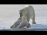 Polar Bear. Cruel Survival Polar Bear - Documentary Films 2017  Amazing Animals