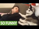 Husky puppy has heated debate with human