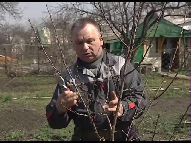 Обрезка молодых деревьев весной 160416 2016 4 18 10 0