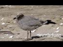 Grey gull / Серая чайка / Leucophaeus modestus / Larus modestus