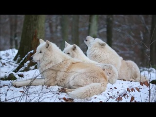 Arctic Wolfpack Howls