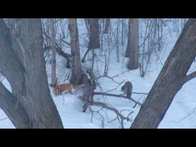 Fox versus Raccoon