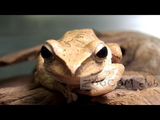 Куда летят лягушки? Rhacophorus - Polypedates
