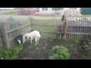 Банда коз совершила налёт