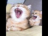 Cats synchronous yawn - Коты синхронно зевают