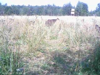 Кабаны в нацпарке Смоленское поозерье