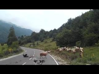 Стадо овец на дороге испугалось машины и сбило пастушку