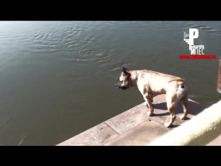 Собака ныряет на счёт «пять»