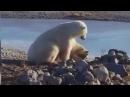 Белый медведь гладит собаку