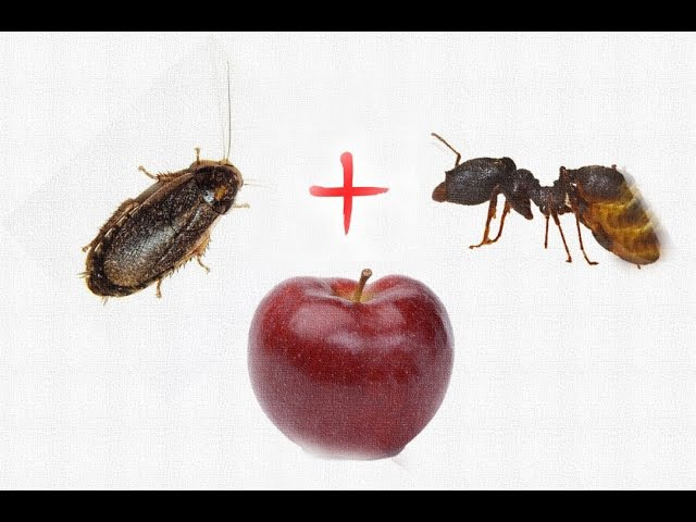 Nauphoeta cinerea, Pheidole yeensis and Apple fruit