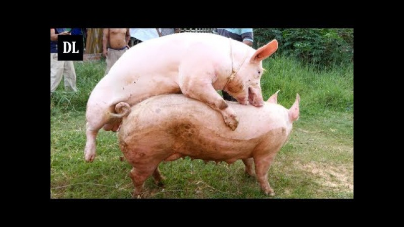 Two Brother Bred Pig In My Village - How To Breeds Pig In Cambodia - Animals Mating Video