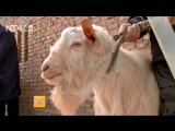 公山羊干了公绵羊的活儿。
