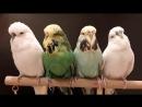 Мои птички - Вихрь, Фрося, Незабудка и Снежок