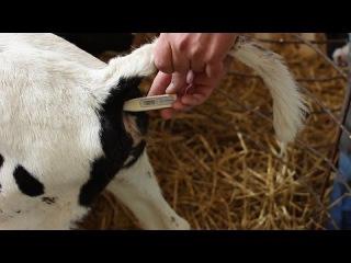 Пневмония у телят. Комплексное лечение. Pneumonia in calves. Complex treatment.