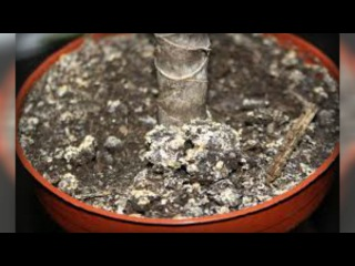 Белый налет на земле в горшках с домашними цветами