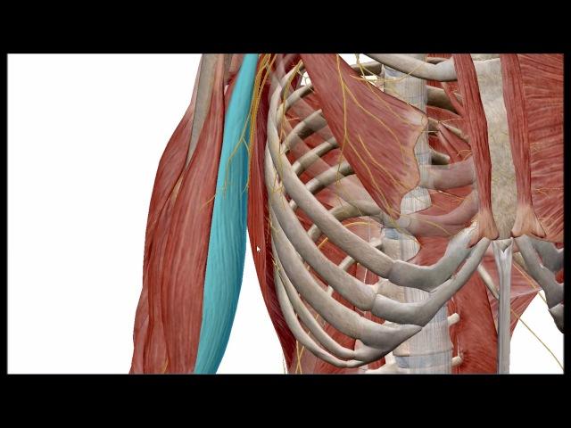 Плечевое сплетение топография, ветви, области иннервации