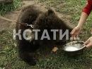 Хищное опекунство жители Сергача взяли под опеку оголодавших живых медведей
