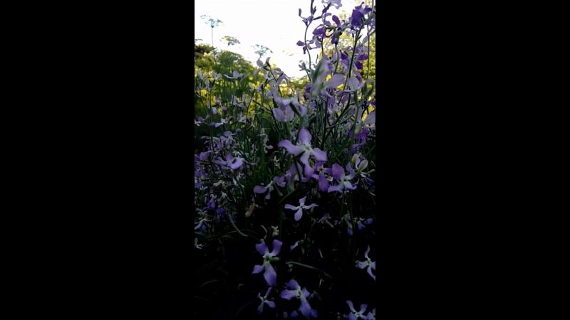 Матиола! Божественный ночной цветок...