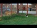 Домашняя кошка бросает вызов львице