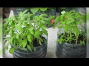 Томаты. Эффективный способ выращивания рассады