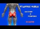 ЯГОДИЧНЫЕ МЫШЦЫ 10 Фактов Анатомия и Тренировки zujlbxyst vsiws 10 afrnjd fyfnjvbz b nhtybhjdrb