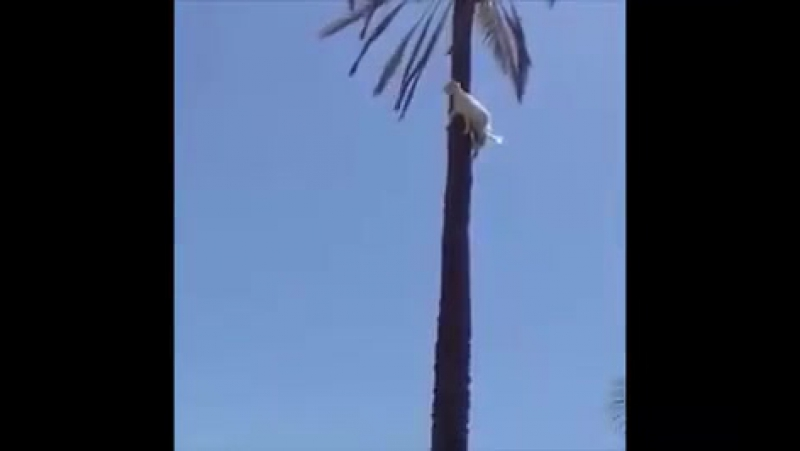 Как коза очутилась на пальме?
