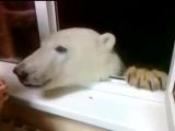 Когда к тебе зашел полярный медведь, а у тебя есть бублики...
