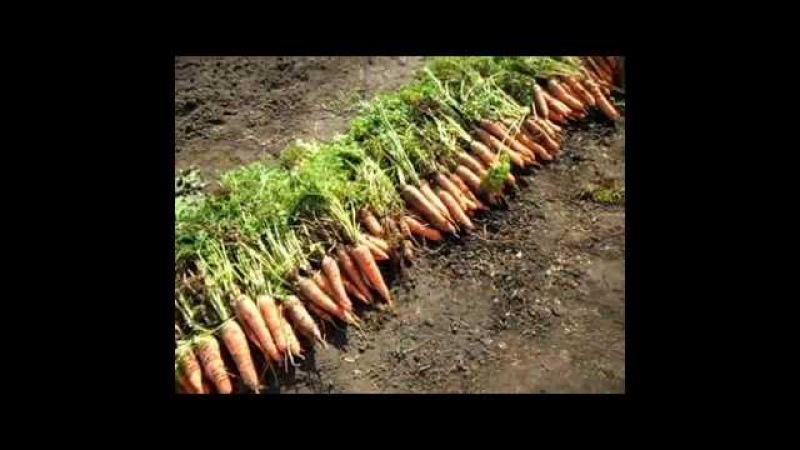 Как я выращиваю морковь