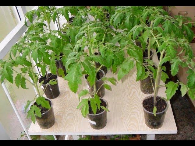 Как я выращиваю рассаду помидоров