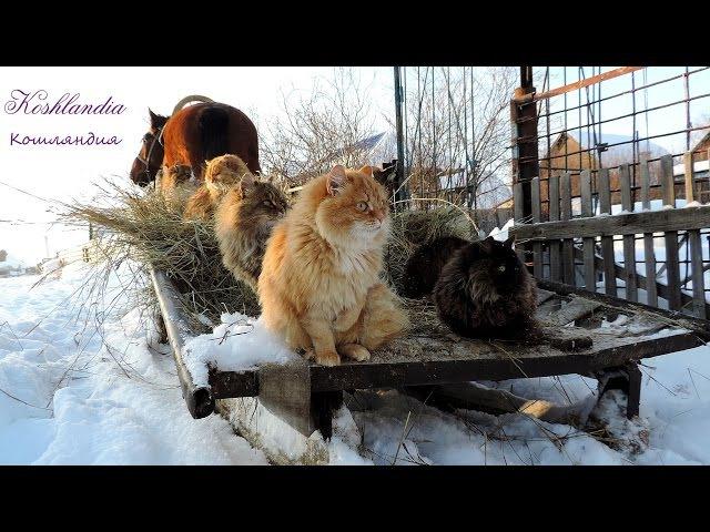 Winter Siberia 10 Cats and horse Yasha Зима Катание на санях Сибирские Кошки конь Яшка