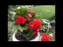 119 Бегония клубневая настоящее украшение сада