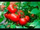 Выращивание томатов в теплице как бизнес идея