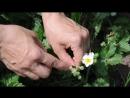 Защита земляники и виктории от землянично - малиннового долгоносика