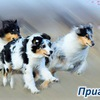 Курсинг->Рязань->Собаки->КЦ Феникс