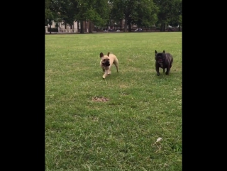 Races with Cobler. I win of course! #frenchbulldog... Лондон 19.07.2017