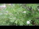 Краснодарская колибри