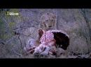 Тимбавати - мир диких кошек /царский прайд/ (серия №1)