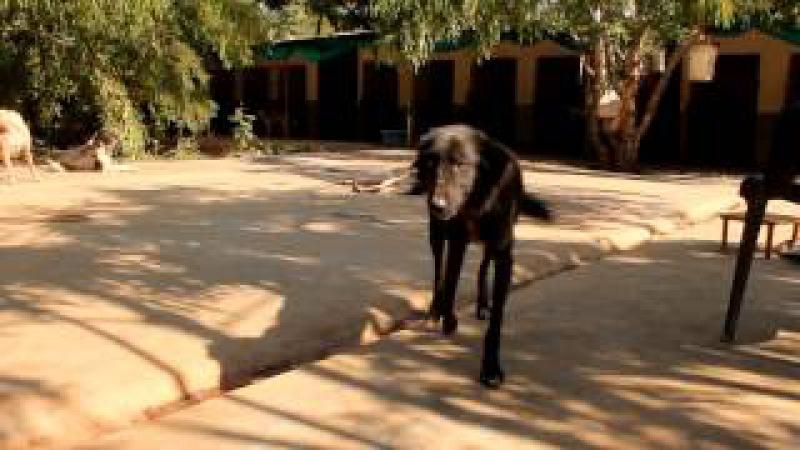 Спасение собаки, страдающей от диких болей при ходьбе / О собаке, человеке, и не только...