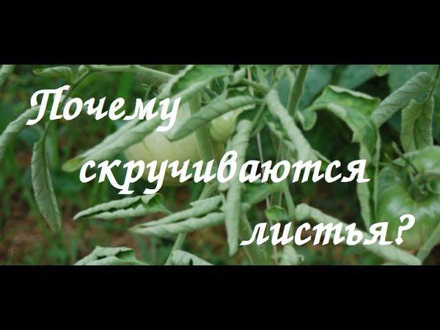 Почему у томатов скручиваются листья Видео ответ №1