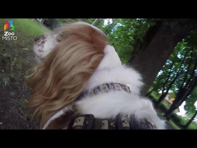 ГоПро и Русский Спаниель - Мир глазами собаки / GoPro and Spaniel - Go pro dog