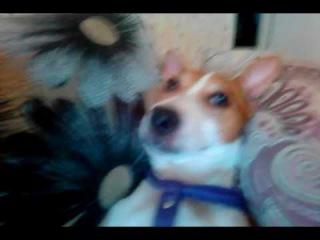 Джек рассел терьер Jack Russell Terrier удобное место,где он может отдохнуть от собачьей...