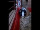 морская свинка ест огурец