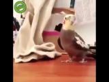мой арабский попугай