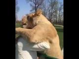 Подросли питомицы, но помнят Мамкину ласку!... Приёмная мамочка и два брошенных львицей львёнка!.