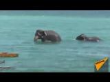 Операция по спасению слонов в Шри-Ланке