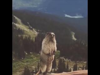 Marmot shouts - Сурок кричит