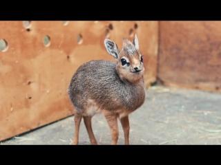Детёныш антилопы дикдик