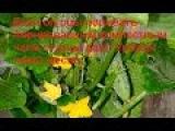 Аэрированный компостный чай Приготовление и польза для огорода