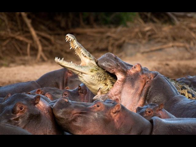 Хищники Африки. Бегемот против крокодила. Познавательный фильм.
